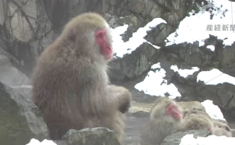 Snow Monkeys Enjoying Jigokudani Hot Springs