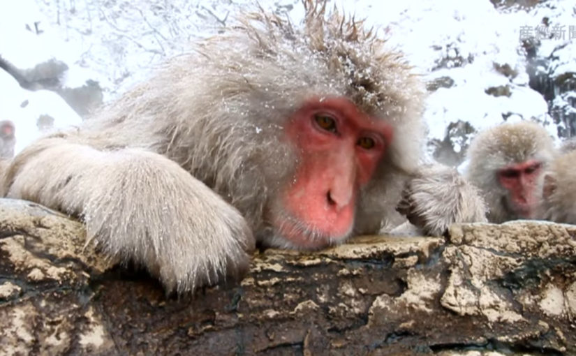 Snow Monkeys Relax in Hell Valley Hot Springs